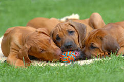 Puppies playing Royalty Free Stock Photos
