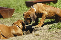 Puppies playing Royalty Free Stock Photography