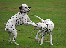 Puppies playing. Two Dalmatian puppies playing together with one pinching the others nose with his paws stock image