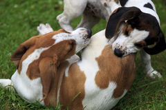 Puppies Playing and Biting Royalty Free Stock Photography