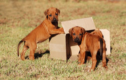 Puppies playing with box. Three cute little purebred Rhodesian Ridgeback hound dog puppies playing in and with a cardboard box on the lawn outdoors Stock Images