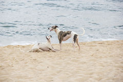 Puppies playing on the edge of the beach. North coast of Sao Pau Royalty Free Stock Images