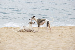 Puppies playing on the edge of the beach. North coast of Sao Pau Stock Photos