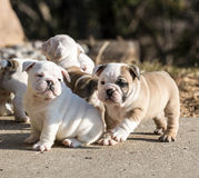 Puppies playing Royalty Free Stock Photo