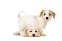 Puppies playing isolated on a white background Royalty Free Stock Photography