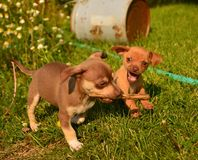 Puppies playing keepaway. Chiweenie puppies playing keep away with stick on sunny summer day Stock Photography