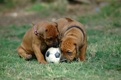 Puppies playing with toy stock images