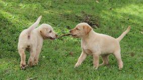 Puppies playing tug of war Stock Photos