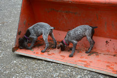 Puppies playing Stock Photos