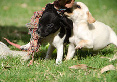 Puppies playing Stock Photography