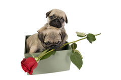 Puppies Present. Stock Images