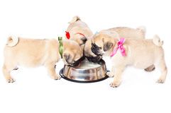 Puppies of pug near bowl with milk Royalty Free Stock Photos