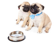 Puppies of pug near bowl with milk Stock Image