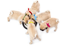 Puppies of pug near bowl with milk Royalty Free Stock Photo