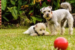 Puppies. With a red ball Stock Photos