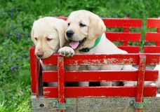 Puppies in red cart. Two golden retriever puppies sitting in red cart Stock Image