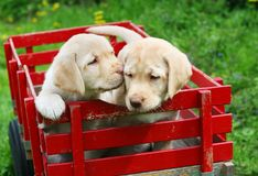 Puppies in red cart. Two golden retriever puppies sitting in red cart Royalty Free Stock Photo