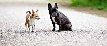 Puppies on road royalty free stock photography