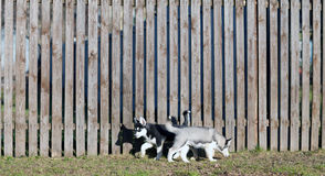 Puppies run along the fence Stock Photography