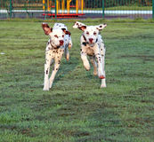 Puppies running. Two energetic Dalmatian puppies running very fast across the grass in the early morning sunlight with dew on the grass stock image