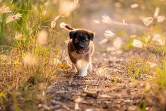 Puppies running in the meadow royalty free stock image