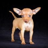 Puppies Russian toy terrier Royalty Free Stock Photo