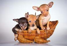 Free Puppies Russian Toy Terrier Royalty Free Stock Images - 21352679