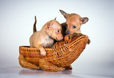 Puppies Russian toy terrier Stock Photography