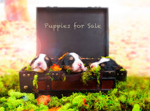 Puppies for Sale Stock Images
