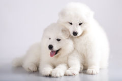 Puppies of Samoyed dog Stock Photography