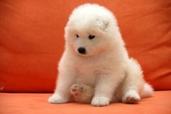 Puppies Samoyede Stock Image