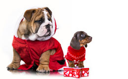 Puppies  in Santa costume on a white background. Christmas dachshund puppies and English bulldog in Santa costume Stock Photo