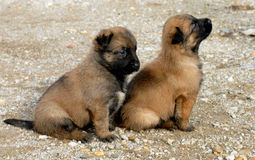 Puppies shepherd Stock Photos
