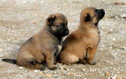Puppies shepherd Stock Photos
