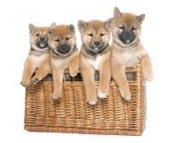 Puppies shiba inu royalty free stock photos