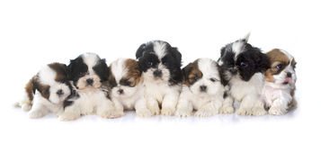 Puppies shih tzu. In front of white background stock photography