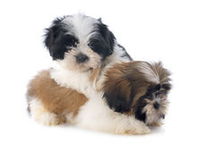 Puppies shitzu Royalty Free Stock Images