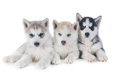 Puppies siberian husky stock photography