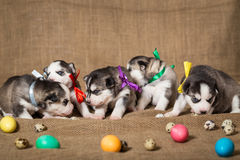 Puppies of Siberian Husky surrounded by Easter eggs. Easter. Puppies of Siberian Husky surrounded by Easter eggs Stock Image