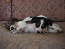 Puppies sleep on the old couch Royalty Free Stock Image