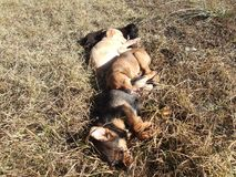 The Puppies sleeping on the grass. The carefree puppies sleeping on the grass Royalty Free Stock Photos