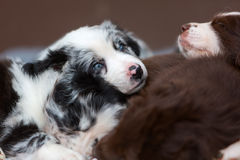 Puppies sleeping one above the other. Cute Australian Shepherd puppies sleeping one above the other royalty free stock images