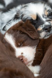 Puppies sleeping one above the other. Cute Australian Shepherd puppies sleeping one above the other stock photos