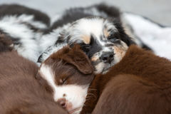Puppies sleeping one above the other. Cute Australian Shepherd puppies sleeping one above the other royalty free stock photos
