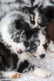 Puppies sleeping one above the other. Cute Australian Shepherd puppies sleeping one above the other royalty free stock image