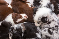 Puppies sleeping one above the other. Cute Australian Shepherd puppies sleeping one above the other royalty free stock photography
