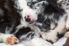 Puppies sleeping one above the other. Cute Australian Shepherd puppies sleeping one above the other stock images