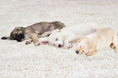 Puppies sleeping. On a shaggy carpet Royalty Free Stock Photography