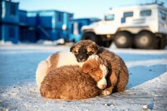 Puppies are sleeping on the snow. Three little puppies are sleeping on the snow of the Arctic, huddling together to keep warm. In the background, there is a Stock Photos