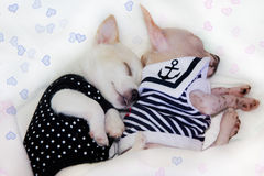 Puppies sleeping in spoon. Two serene puppies sleeping in spoon with cozy blanket Royalty Free Stock Images